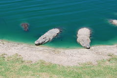 Several crocodiles look out of the water in a natural environment. Crocodiles look out of the water in a natural environment stock photography