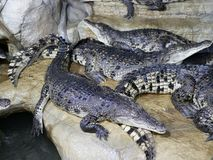 Free Several Crocodiles With Open Mouths Lie On Top Of Each Other In The Enclosure. Reptiles With Big Teeth And Long Tails. Stock Images - 165968864