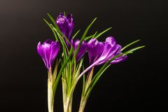 Several Crocus flowers isolated on a black background. stock photos