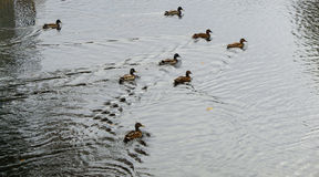 Several cute ducks Royalty Free Stock Photo
