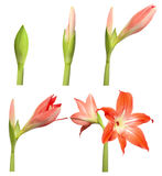 Several Days of Flower Life. Stages of growth - amaryllis isolated on white background royalty free stock photos