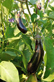 Several differenr size violet eggplants and flower Royalty Free Stock Photos
