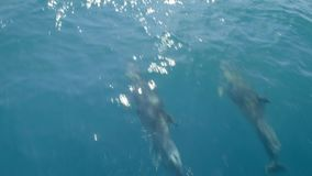 Several dolphins swiming in front of a boat or a ship. Jump and look at the camera. Animal and environmental protection