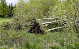 Several downed trees from wind storms Royalty Free Stock Photo
