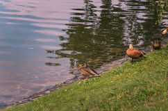Several ducks in the park in the summer of sleep and rest Royalty Free Stock Photo