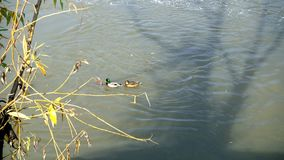 Several ducks swim in a freezing pond stock video