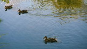 Several ducks swim in the pond. Several ducks swim in a pond with blue water and a little excitement stock video