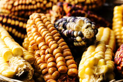 Several Ears Of Corn (Maize) Of Different Varieties Royalty Free Stock Photography
