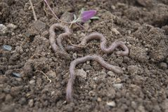 Several earthworms crawl on the surface of the earth. stock image