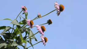 Several echinacea flowers stock footage
