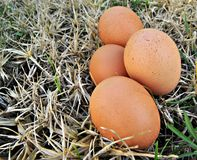 Several eggs in the grass Stock Photography