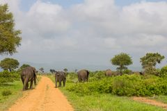 Several elephants cross the road Royalty Free Stock Photos