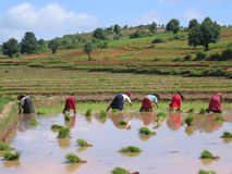 Several farmer women. Working in a ricefield - Kalaw - Myanmar Stock Photography
