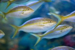 Several fish close up in aquarium. School of fish swimming in water, close up stock photos