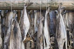 Several fish hung to dry Royalty Free Stock Images