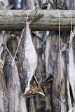Several fish hung to dry Royalty Free Stock Image