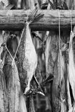 Several fish hung to dry. Black and white image of several fish hung to dry at a wooden pole with some white string Royalty Free Stock Images