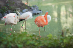 Several flamingos walk on green pond Royalty Free Stock Image
