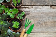 Several flowerpot of home plants. Planting potted flowers and garden tools. Several flowerpot of home plants. Planting potted flowers and garden tools: shovel Royalty Free Stock Image