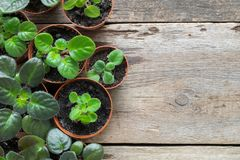 Flowerpots of home plant and saintpaulia flowers. Top view. Copy space for text. Stock Photos