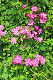 Several flowers of pink clematis Stock Images