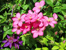 Several flowers of pink clematis Royalty Free Stock Photography