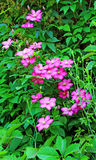 Several flowers of pink clematis Stock Photo