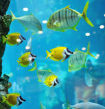Several foxface fish Royalty Free Stock Images