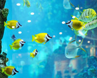 Several foxface fish Royalty Free Stock Photography