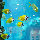 Several foxface fish Stock Image