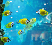Several foxface fish Stock Photography
