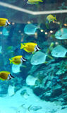 Several foxface fish Royalty Free Stock Image