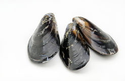 Several fresh mussels Stock Image
