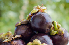 Several fresh purple mangosteens. Several fresh purple tropical mangosteens Royalty Free Stock Photography