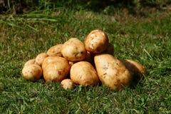 Fresh potatoes. Stock Photos