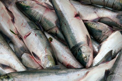 Several freshly caught sockeye salmon Stock Image