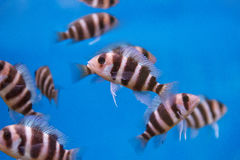 Several frontosa cyphotilapia fishes with stripes Royalty Free Stock Photography