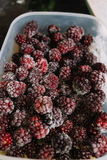 Several frozen blackberries in plastic box. Close-up of several frozen blackberries with different shades of red Royalty Free Stock Image