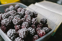 Several frozen blackberries in plastic box on kitchen. Close-up of several frozen blackberries with different shades of red Royalty Free Stock Photography