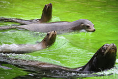 Several fur seals in the pool Royalty Free Stock Photos