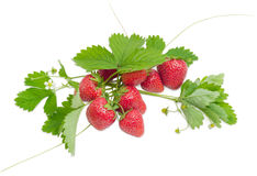 Several garden strawberry fruit with leaves, stems and flowers Royalty Free Stock Photography