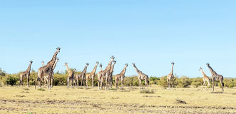 Several giraffes Stock Photos