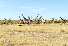 Several giraffes Royalty Free Stock Photography
