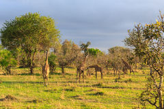 Several giraffes walking and eating in a landscape stock images