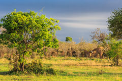 Several giraffes walking and eating in a landscape stock photo