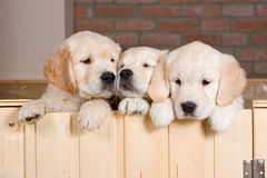 Several golden retriever puppies. Behind fence Stock Photography