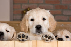 Several golden retriever puppies. Behind fence Stock Images