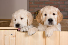 Several golden retriever puppies. Behind fence Royalty Free Stock Photos