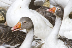 Several gooses stock images