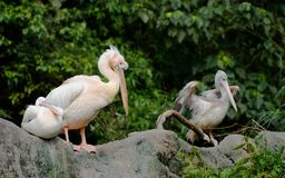 Several Great eastern white pelican bird stock photo